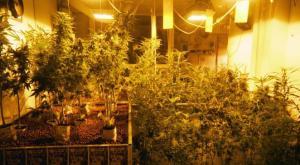 marijuana_drogue